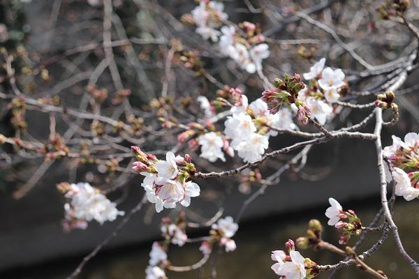 神田川への桜.jpg